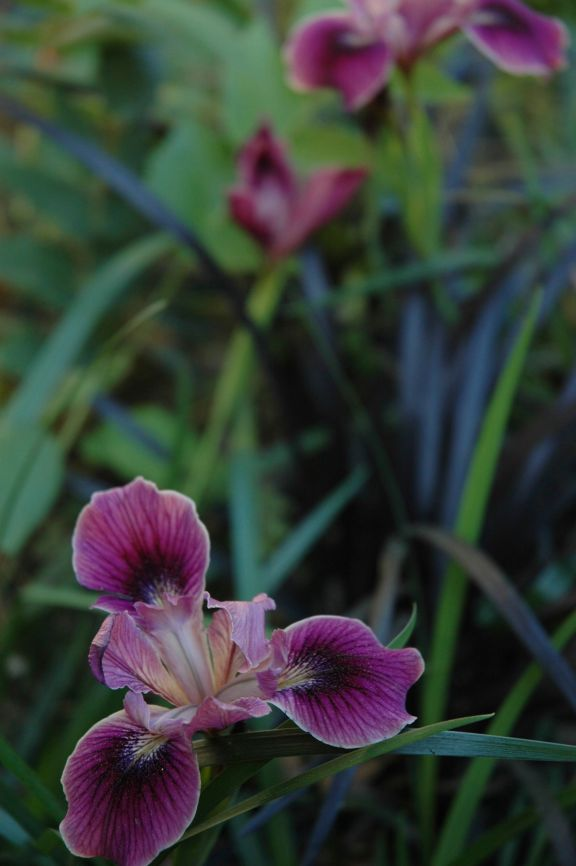 'Native Warrior', a Pacific Coast Hybrid Iris mixes well with Black Mondo Grass on the cool north facing side of the courtyard